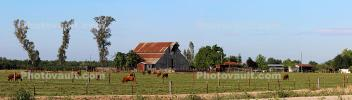 Cows, Pasture, Barn, trees, fields, east of Gustine, Merced County, CNCD03_223