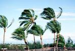 wind blown palm tree, windy, breeze