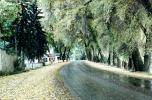 Wet Road, Street, Trees, Cottonwoods, Curve