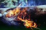 Burning Sequoia Tree, (Sequoiadendron giganteum), DAFV04P13_01