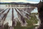 Flooded Vineyard, DASV01P09_01