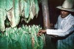 Drying Tobacco Leaves, Tobacco Farm, Cuba