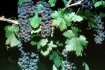 Red Grapes, Grape Cluster, FAVV03P01_01