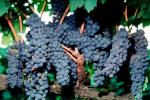 Red Grapes, Grape Cluster, FAVV03P01_02