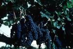 Red Grapes, Grape Cluster, FAVV03P01_05