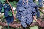 Red Grapes, Grape Cluster, FAVV03P01_16