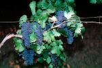 Red Grapes, Grape Cluster, FAVV03P02_03