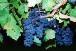 Red Grapes, Grape Cluster, FAVV03P02_04