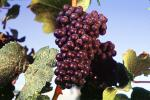 Red Grapes, Grape Cluster, FAVV03P10_03