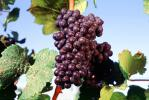 Red Grapes, Grape Cluster, FAVV03P10_04