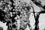 White Grapes, Grape Cluster