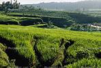 Island of Bali, Rice Paddy