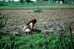 Girl, Woman, Planting, sowing, irrigation, Sythe