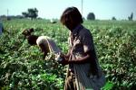 Cotton, Picking, Harvesting