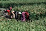 Woman, Women, Labor, Laborers, Harvesting, Kathmandu Valley, FMAV01P10_03