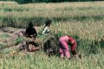 Woman, Women, Labor, Laborers, Harvesting, Kathmandu Valley, FMAV01P10_04