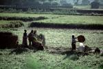 Woman, Women, Labor, Laborers, Harvesting, Kathmandu Valley, FMAV01P11_02