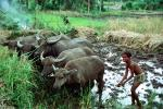 Boy, Oxen, Horns, Cows, boy, male, barefoot, worker, working