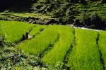 Terraced Rice Fields, Terrace, paddies, hills