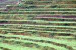 Terraced Rice Fields, Island of Bali