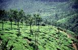 Tea Plantation, Fields