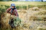 Woman, Harvesting, Wheat, Turkey, FMAV02P08_01