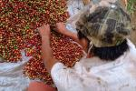 Coffee Bean, Harvesting, Processing, Man, Male, worker, manual labor, FMBV01P03_15.0947
