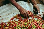Coffee Bean, Harvesting, Processing, Man, Male, worker, manual labor, hands, FMBV01P03_16.0947