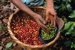 Coffee Bean, Harvesting, Processing, Man, Male, worker, manual labor, hands, FMBV01P03_19.0947