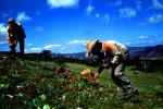 Planting, seedlings, man, men, workers, manual labor, hats, hills