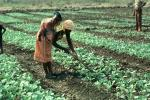 Mother Farming with Child on her Back, Madzongwe, Zimbabwe, FMJV01P02_05
