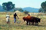 Man and Oxen tilling the soil, Chibi, Zimbabwe