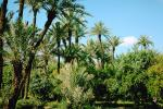 Date Grove, Palm Trees