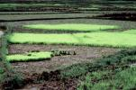 Sambava, Madagascar, Rice Paddy, field, water