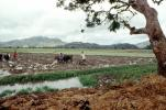 Plow, Plowing, man, male, farmer, manual labor, mud, muddy, oxen, cows, near Andrapa, Madagascar