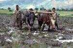 Plow, Plowing, man, male, farmer, manual labor, oxen, horns, mud, muddy, near Andrapa, Madagascar