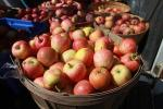 Buckets of Apples, harvest, FMND02_027