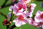 apple blossom flower, FMND02_126