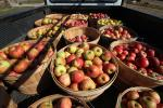 Apples, Buckets, Truck, Two-Rock, Sonoma County, FMND03_021