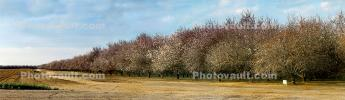 Orchard, Lost Hills, San Joaquin Valley, Central California, USA; Kern County, Highway-46, Panorama, FMND03_071