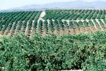 Orange Grove, Orchard, Southern California, FMNV01P14_13