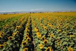 Sunflower Field, Dixon California