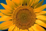 Sunflower Field, Dixon California, Round, Circular, Circle, FMNV03P02_05.0949