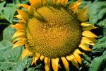 Sunflower Field, Dixon California, Round, Circular, Circle, FMNV03P03_11.0949