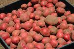 Potatoes, spuds, Occidental, Sonoma County, California