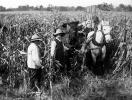 Corn Fields, Corn, Corn Stalks, Field, Horse, Cornfield, Harvest, 1890's, FMNV05P07_09