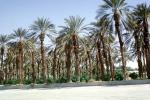 Palm Dates Trees