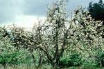 Apple Blossoms, FMNV05P14_14