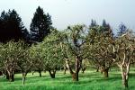 Gravenstein Apples, Occidental, California, FMNV06P05_01