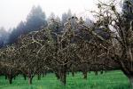 Gravenstein Apples, Occidental, California, FMNV06P05_04